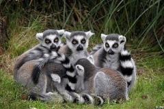 Fauna-Lemures-Edgar-Thissen