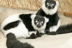 lemures-vari
