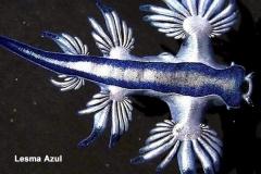 Lesma-azul
