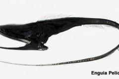 enguia-pelicano