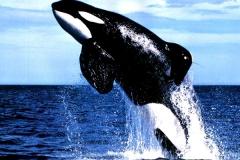 Orca-–-Uma-linda-Baleia-assassina.-