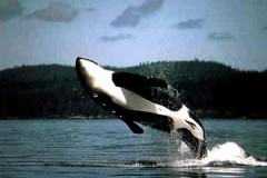 Orca-–-Uma-linda-Baleia-assassina.-4
