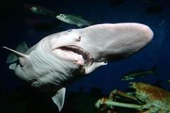 tubarão-duende1