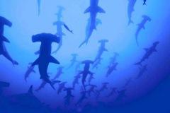 Tubarão-Martelo-1