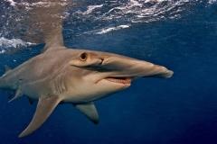 Tubarão-Martelo-10