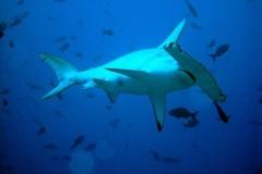 Tubarão-Martelo-14