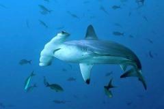 Tubarão-Martelo-3