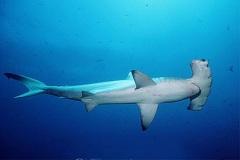 Tubarão-Martelo-6