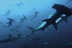Tubarão-Martelo-7