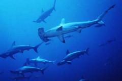 Tubarão-Martelo-8