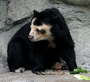 Urso-Preguiça-10