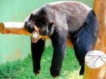 Urso-Preguiça-16