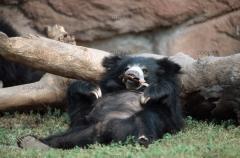 Urso-Preguiça-2
