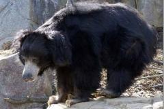Urso-Preguiça-21