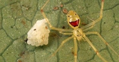Aranha De Cara feliz