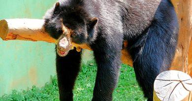 Urso Preguiça