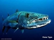 Peixe-tigre-golias