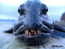 peixe-lobo