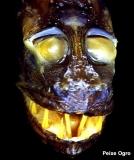 peixe-ogre