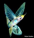 peixe-voador