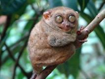 TARSIO-primata-em-extincao