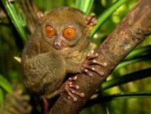 tarsier-