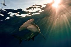 Tubarão-Martelo-11