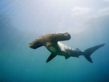 Tubarão-Martelo-12