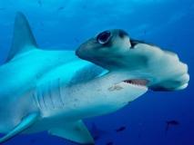 Tubarão-Martelo-13