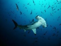 Tubarão-Martelo-2