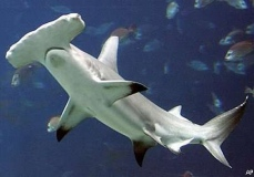 Tubarão-Martelo-5